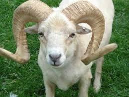 actualit le mouton vend cher sa peau en france l autre sacrifice. Black Bedroom Furniture Sets. Home Design Ideas